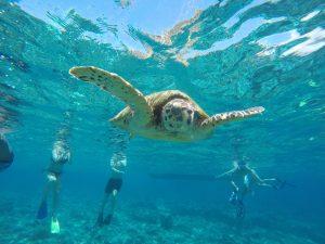 snorkeling di kawasan Gili Air bersama penyu